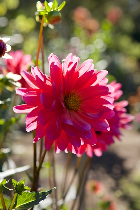 Dahlias at Volunteer Park 4