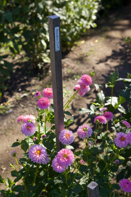 Dahlias at Volunteer Park 5