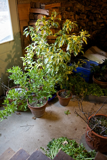 overwintered potted plants 1