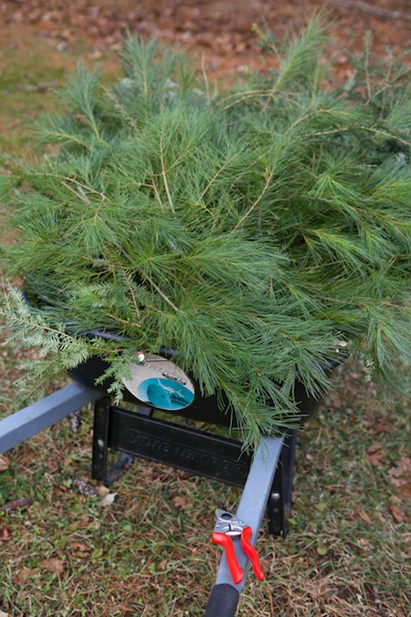Pine for protection 1