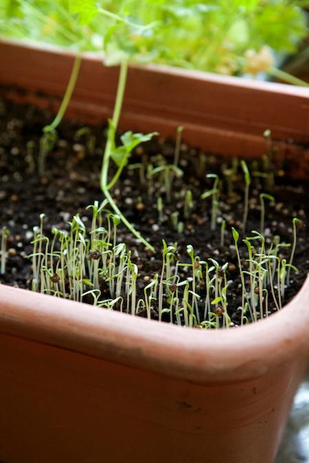 cilantro seedlings