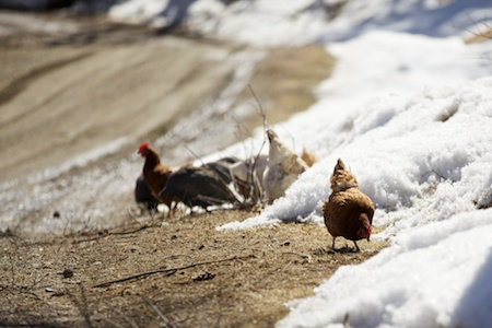 chickens in spring 3
