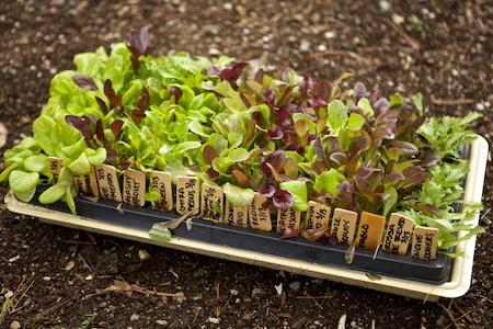 lotsa lettuce 1