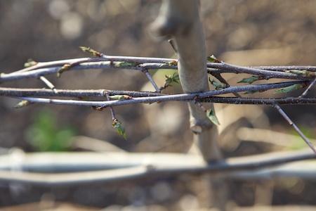 sapling trellis 3