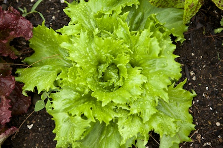 parade of lettuces 6