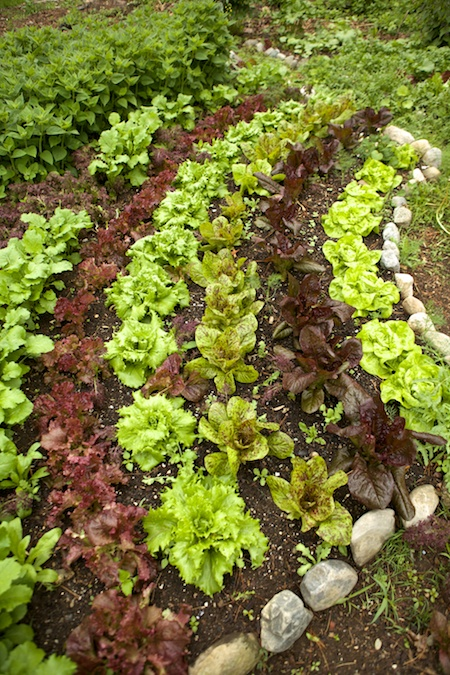 parade of lettuces 8