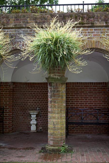 spider plant hanging baskets 1
