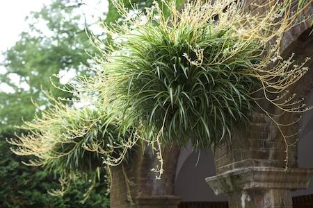 spider plant hanging baskets 2