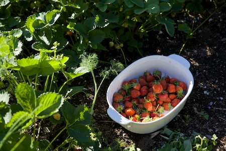 Picking Strawberries 3