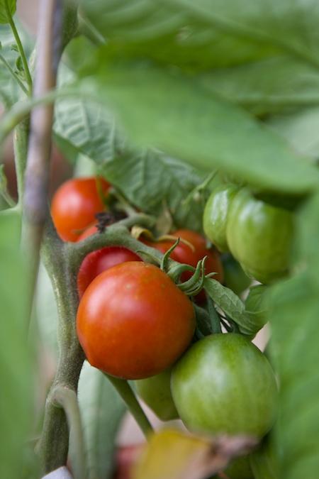 first ripe tomato 2