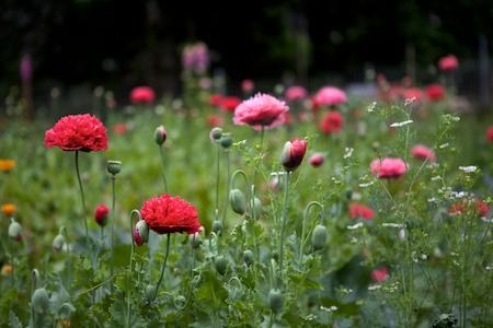 peony poppies 4