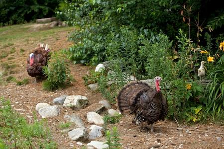 heritage turkeys 2