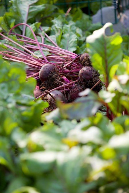 harvesting beets 1