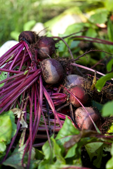 harvesting beets 3