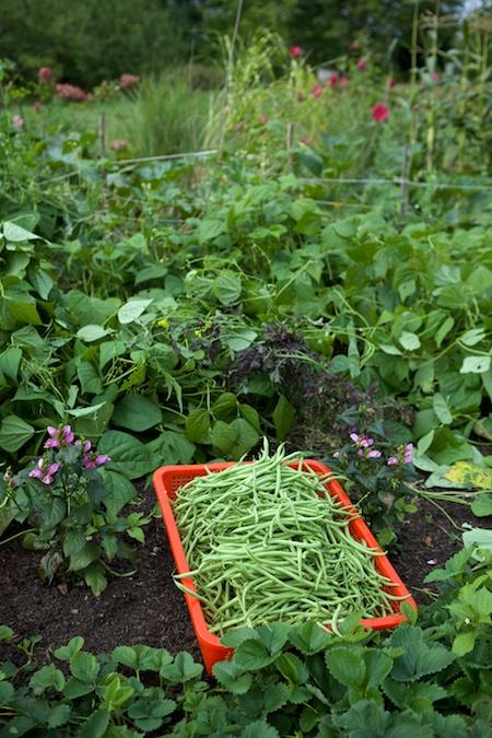 green bean harvest 1