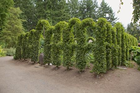Herronswood hedge garden 4