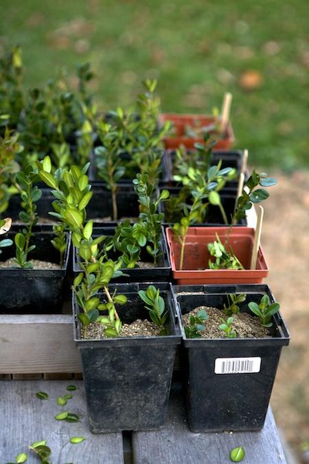 propagating boxwood 2