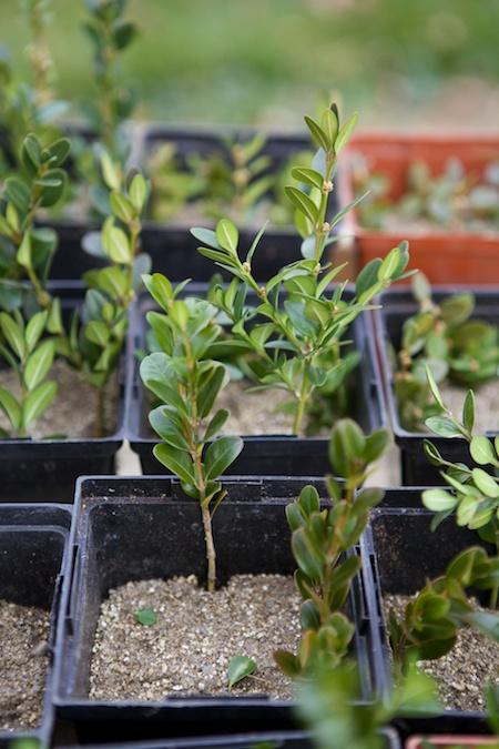 propagating boxwood 3