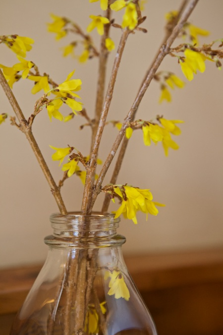 forced forsythia branches 1