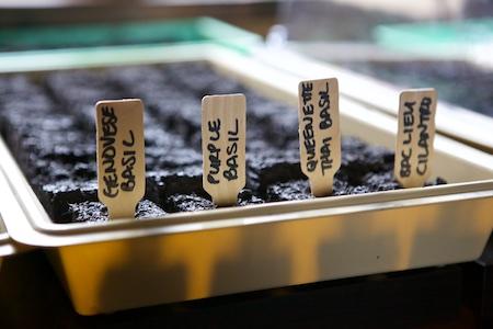 seeding herbs