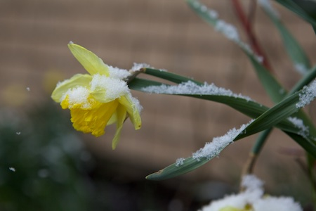 snow on daffodil