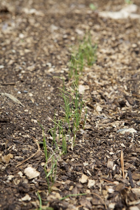 seeding onions 2