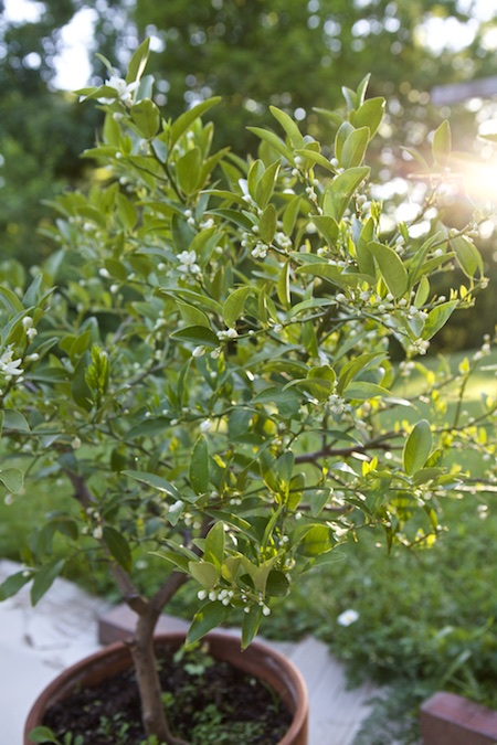 Lime Tree Blooming 2