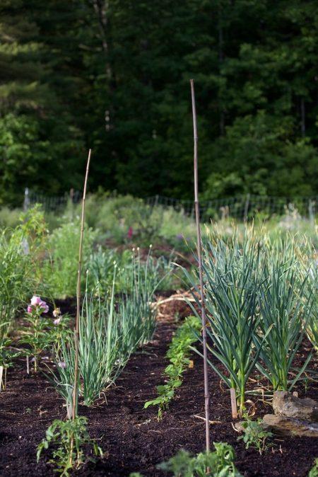 Main Vegetable Garden 6