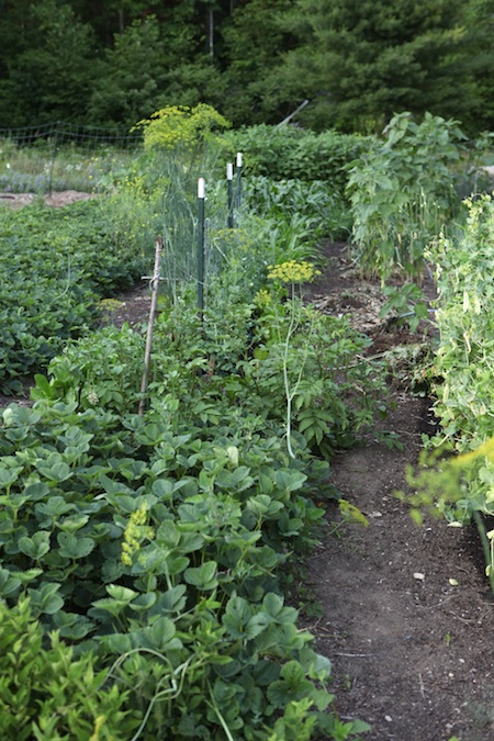 Main edible garden 4