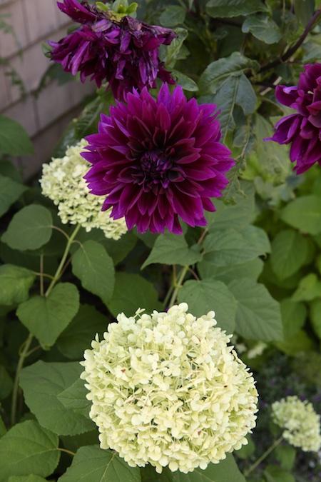dahlia and hydrangea 1