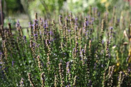 pruning perennial herbs 3