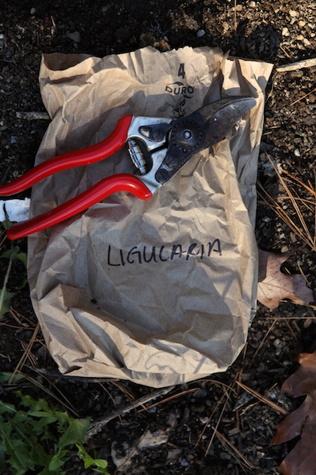 collecting-ligularia-seeds-1