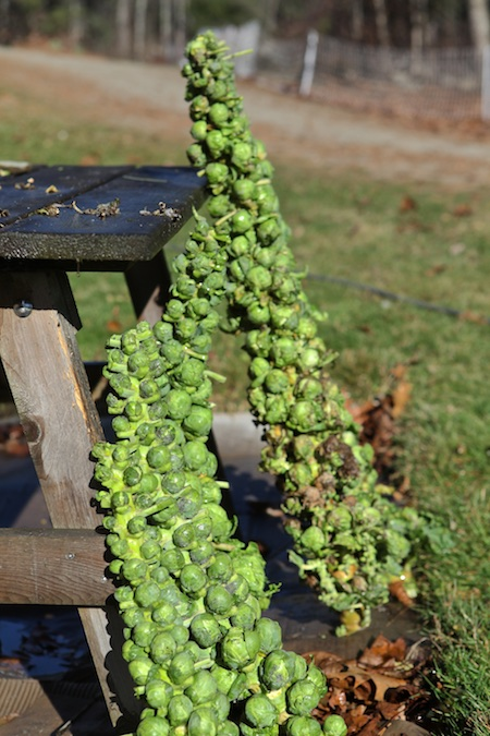 brussels-sprout-harvest-2