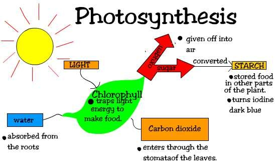 light reactions photosystem diagram basic electrical wiring for house two stages of photosynthesis   sciencing