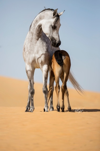 Photo Galleries Arabian Horses Stallions Farms