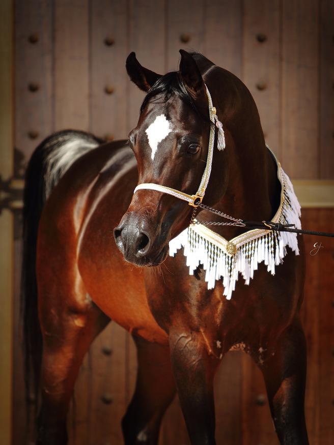 Royal Colours  Dubai Arabian Horse Stud