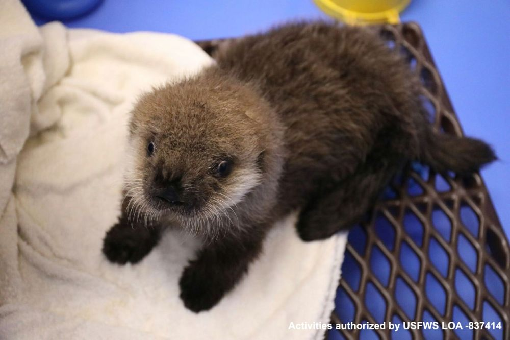 medium resolution of northern sea otter gets some southern hospitality