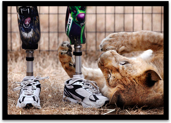 John Reinke, park manager at the G.W. Exotic Animal Park, stands in a pen while 'Bonedigger', an ailing lion, plays at his feet. Reinke enjoys taking care of each of the 500 animals, including the 187 big cats.