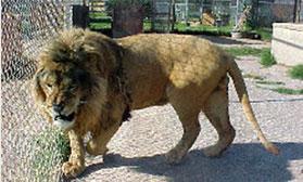 male african lion, Mufassa