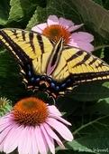 17_-_swallowtail
