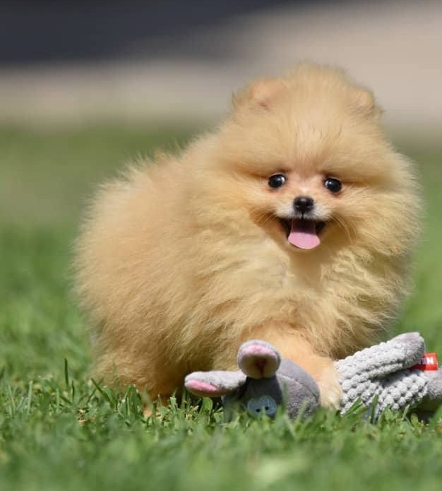 Image result for Pomeranian