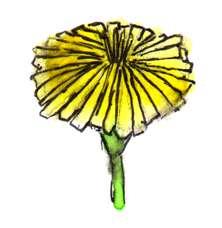 watercolor painting of a dandelion flower