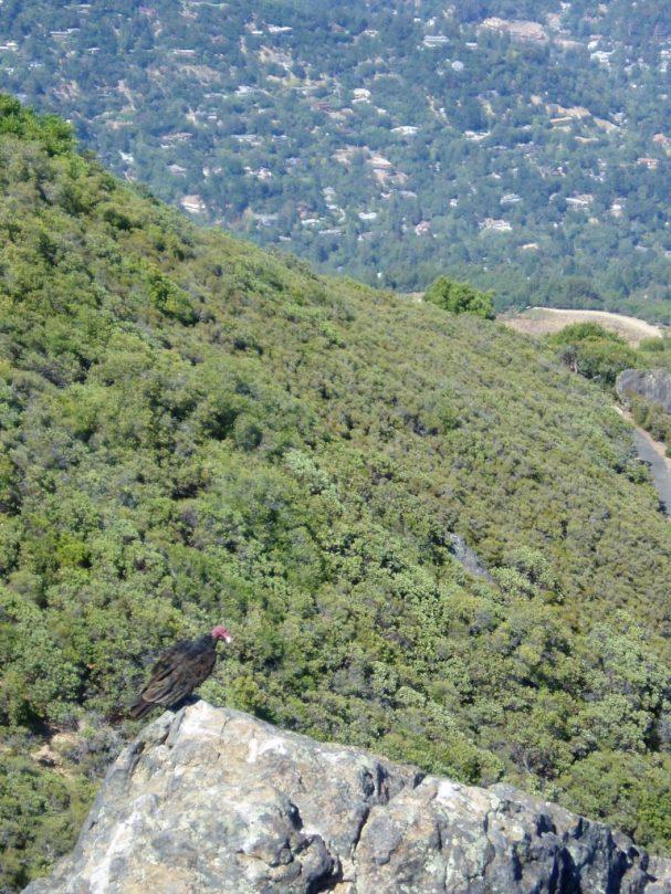 Mt. Tam Buzzard
