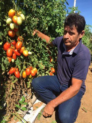 produtor com pe de tomate em agua boa - foto inacio roberto