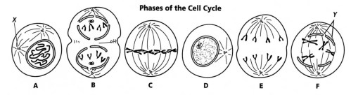 small resolution of Copy of Mitosis Worksheet   Interactive Worksheet by afina ak   Wizer.me