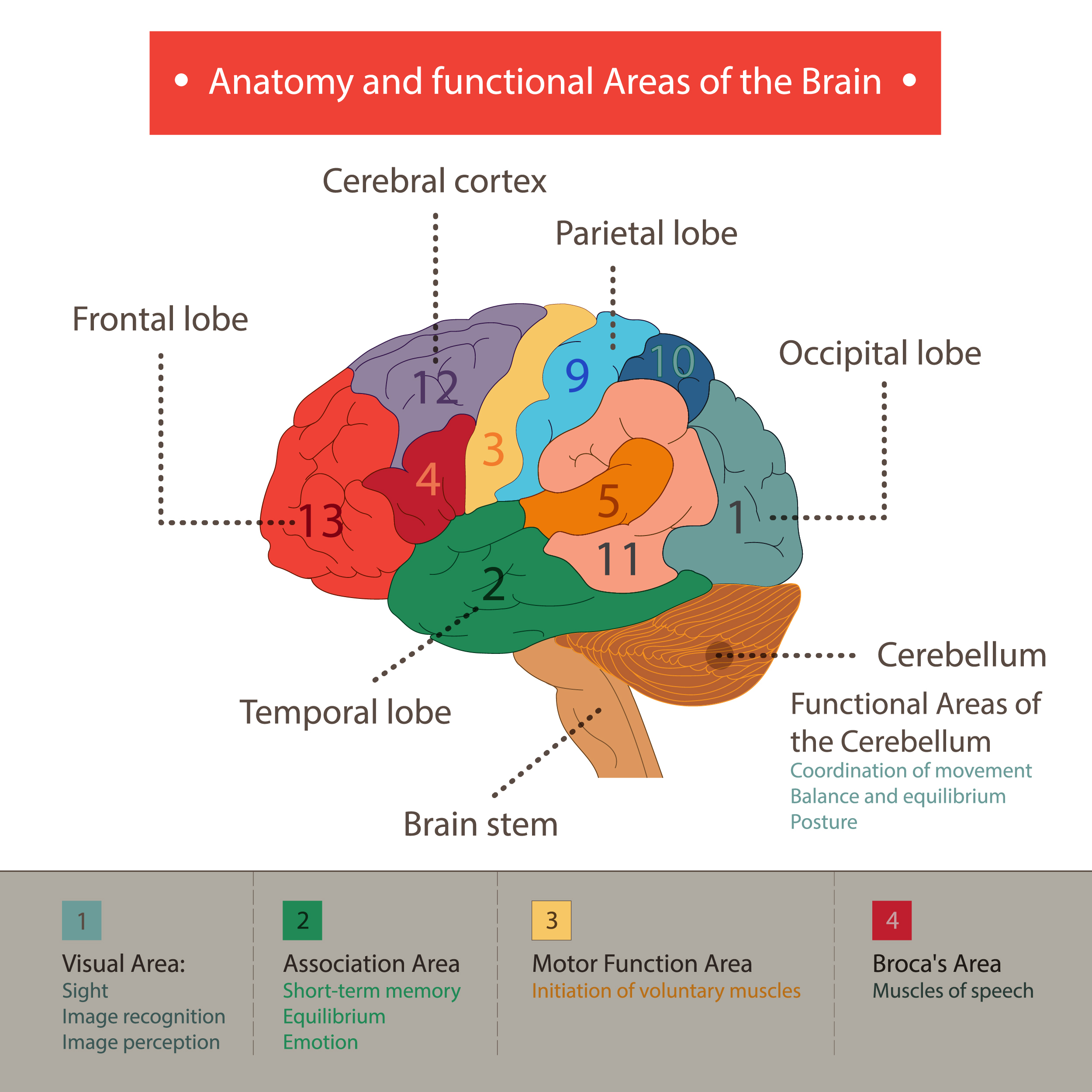 Human Brain Functions And Cognifit