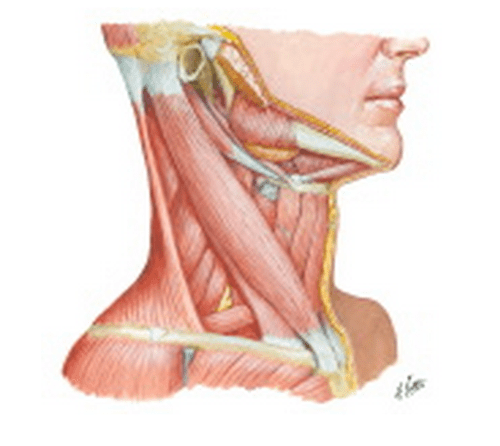 small resolution of netter s anatomy