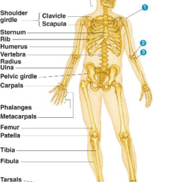 Fourth grade Lesson The Skeletal System   BetterLesson [ 1051 x 800 Pixel ]