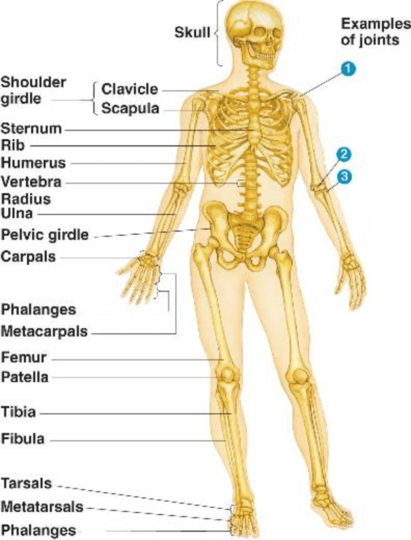 hight resolution of Fourth grade Lesson The Skeletal System   BetterLesson