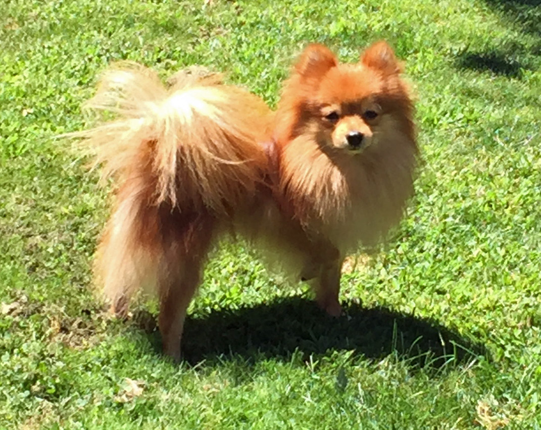 Pomeranian Rescue Organization